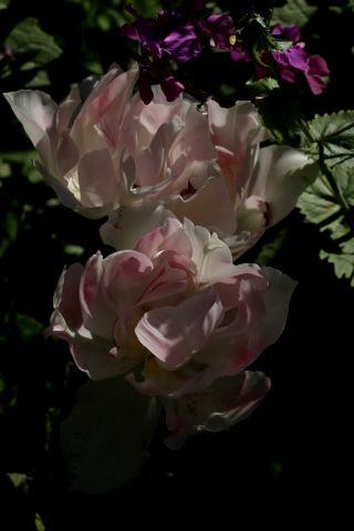 Tulipes 2016 : Angélique