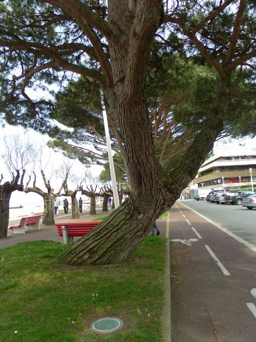 Troncs d'arbres : le Vent de l'Atlantique les fait souffrir