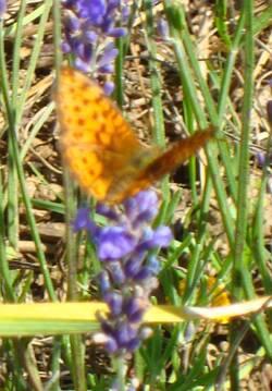 Le Papillon - Hans Christian Andersen