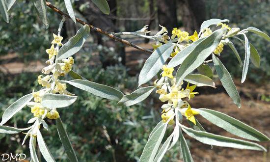 Elaeagnus angustifolia  -  olivier de Bohême  -  chalef