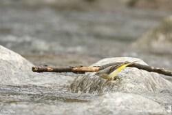 Bergeronnette des ruisseaux