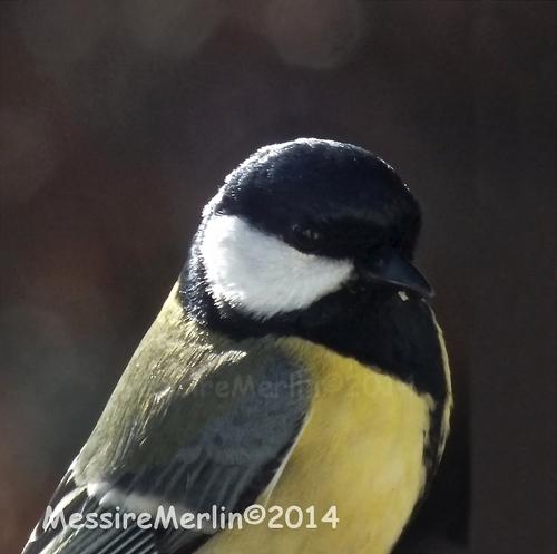 Oiseaux: Mésanges