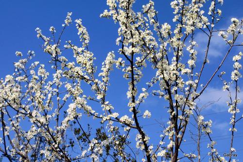 Fleurs du prunier sauvage et de l'amandier