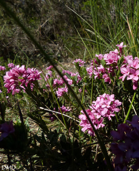 Daphne cneorum  -  daphné camélée