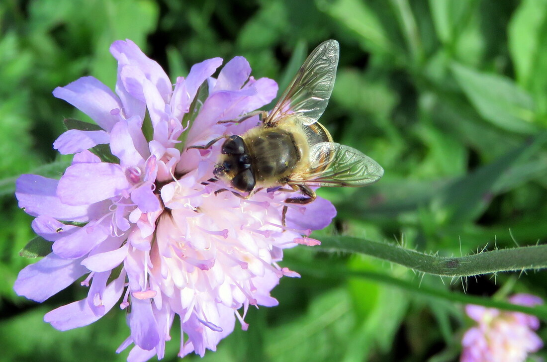 une abeile sur une fleur