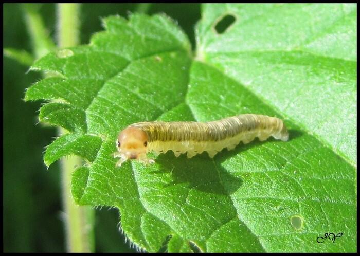 Symphytes - Tenthrèdes diverses.
