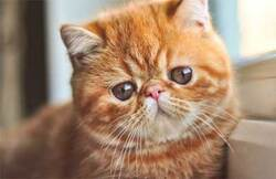 Focus sur la race de chat Exotic Shorthair