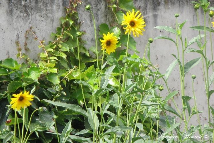Ingersheim : Une fraîche journée