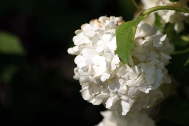 Viburnum opulus 10338