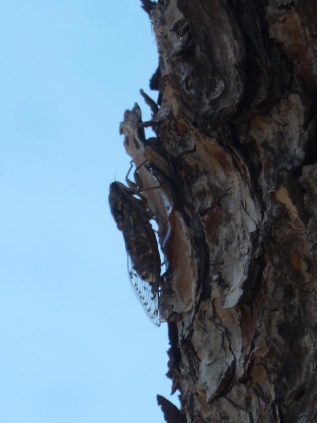 les pins  (suite)
