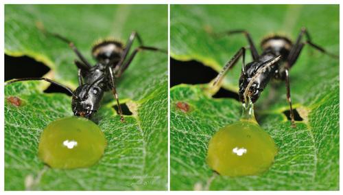 La goutte de miel et la fourmi