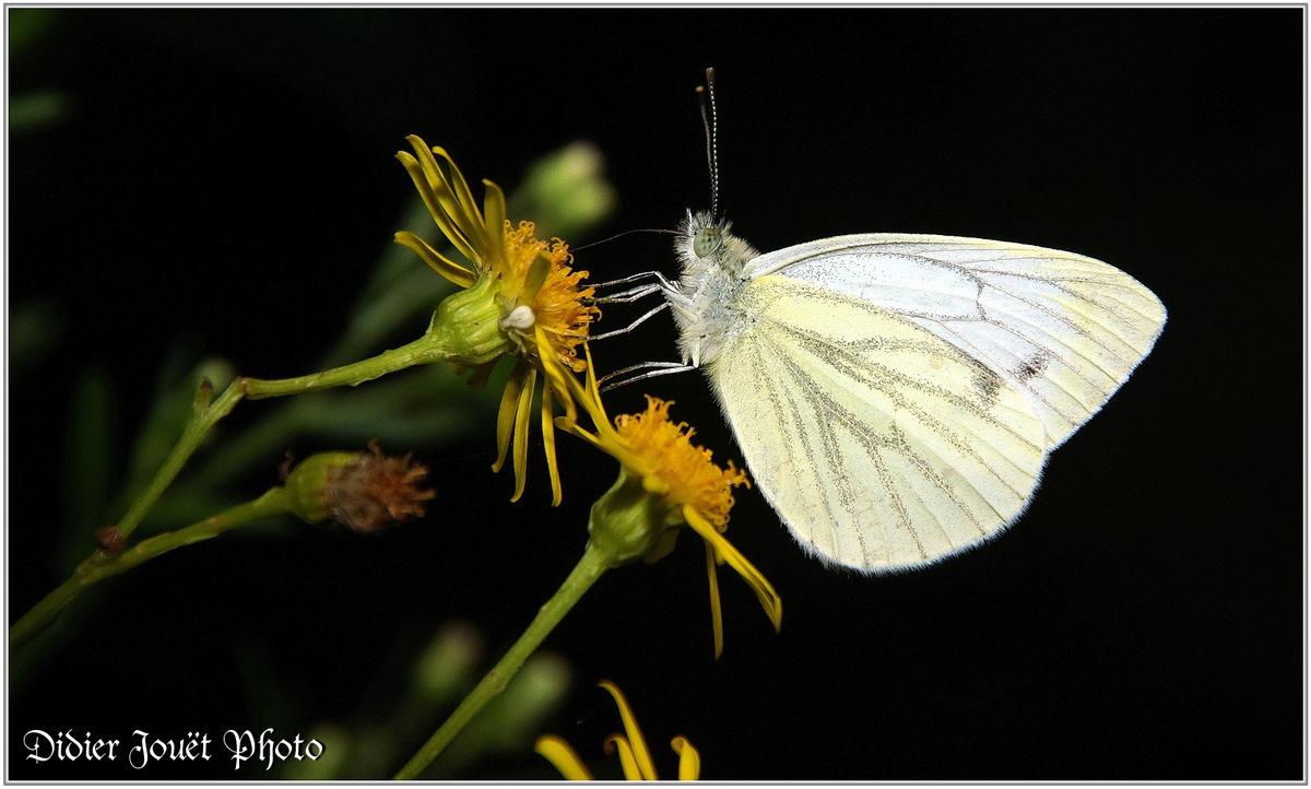 Papillons (1)