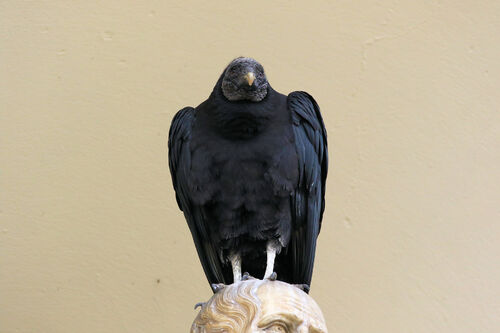 Urubu noir (Black Vulture)