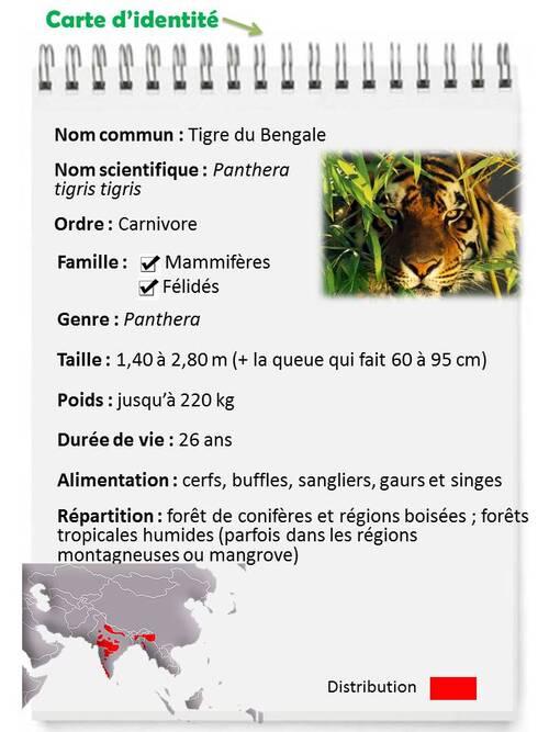 OCTOBRE : Le fameux TIGRE du Bengale