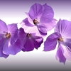 fleurs-delicates-rose-parme-violet-p