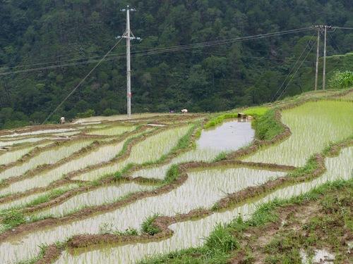 la vie difficile dans les rizières