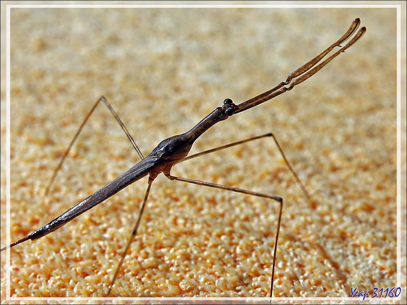 "Punaise Hydrocorise ""Ranâtre"" (Ranatra sp.) - Nosy Be - Madagascar"