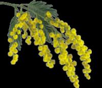 *** C'est le temps du mimosa ***