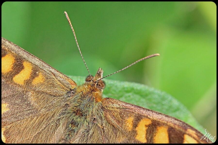 Papillon : le tircis