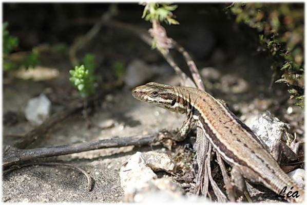Reptiles 9807 Lézard