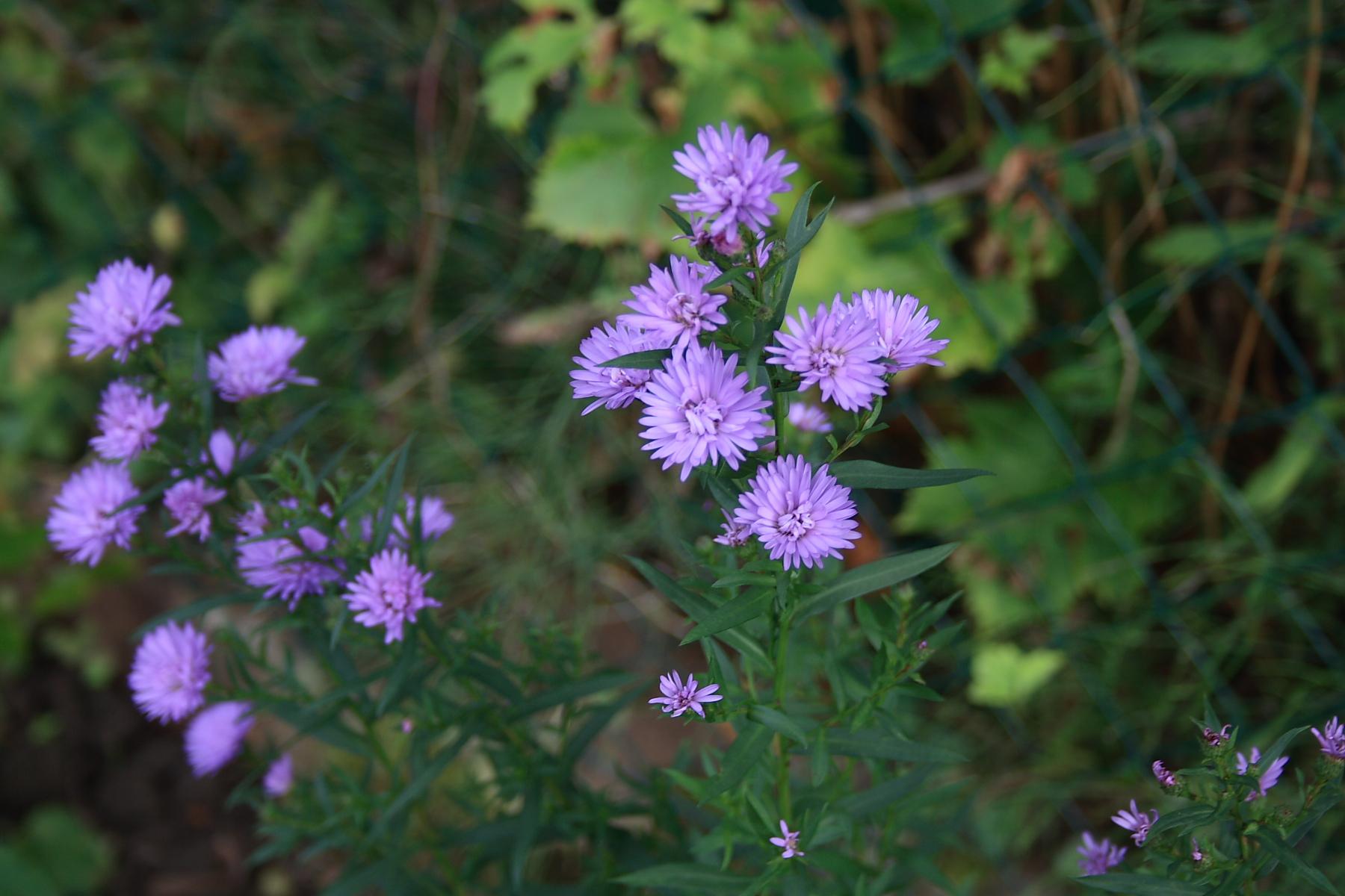 Quelques fleurs du jardin chez rando mes anti stress for Fleurs du jardin