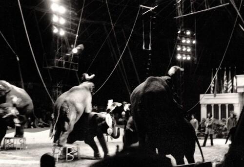 les éléphants de Bobby Robberts lors du spectacle Jean Richard - Bouglione aux Tuileries le 8 mai 1976