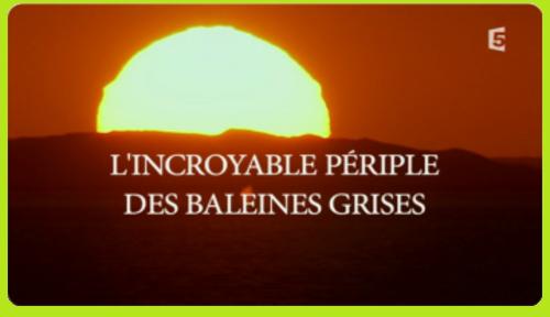 ~ L'Incroyable Périple Des Baleines Grises  ~