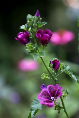Des compagnes pour mes roses : Malva sylvestris