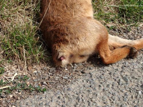 Renard mort et sans queue, sur le bord d'une route