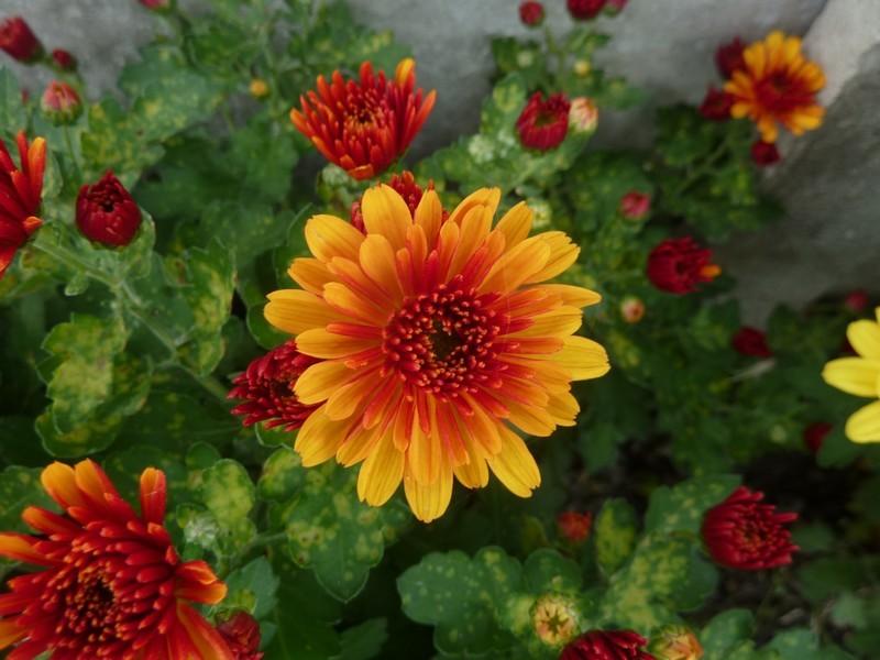 Le chrysanthème ...