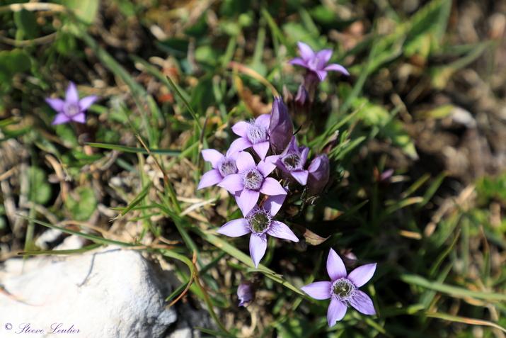 La flore des Dolomites, gentiane