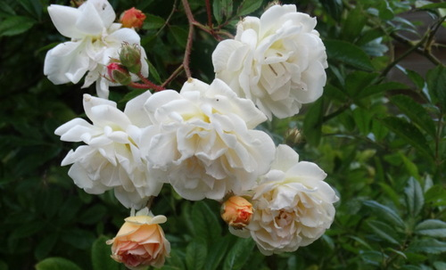 Quelques roses en ce début septembre