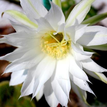 Echinopsis Subdenudata - La fleur