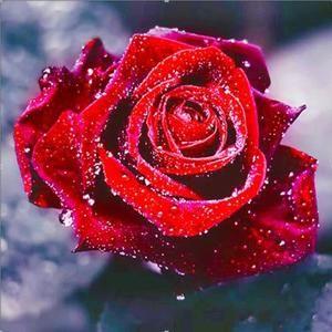 """Résultat de recherche d'images pour """"roses rouge"""""""