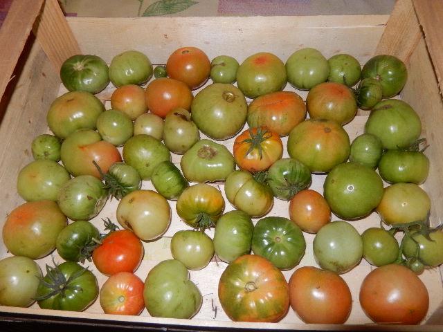 Comment faire mûrir ses tomates du potager pour pouvoir les consommer jusqu'à la dernière....