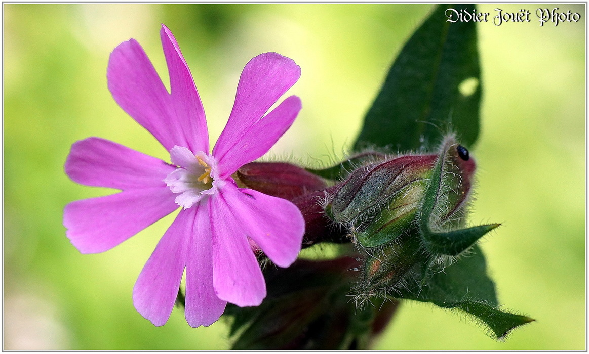 Compagnon Rouge / Silene dioica