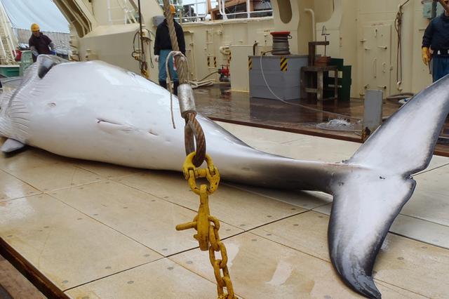 Nouveau revers pour le Japon dans la chasse à la baleine