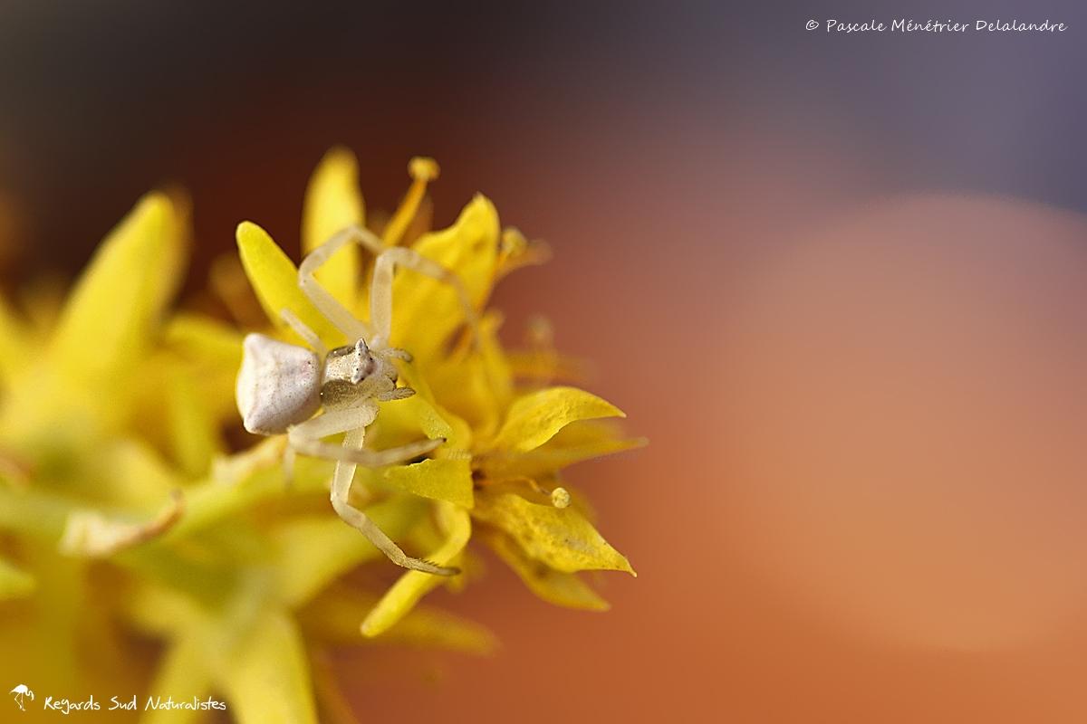 Thomisus onustus ♀ sur fleurs de Succulentes.