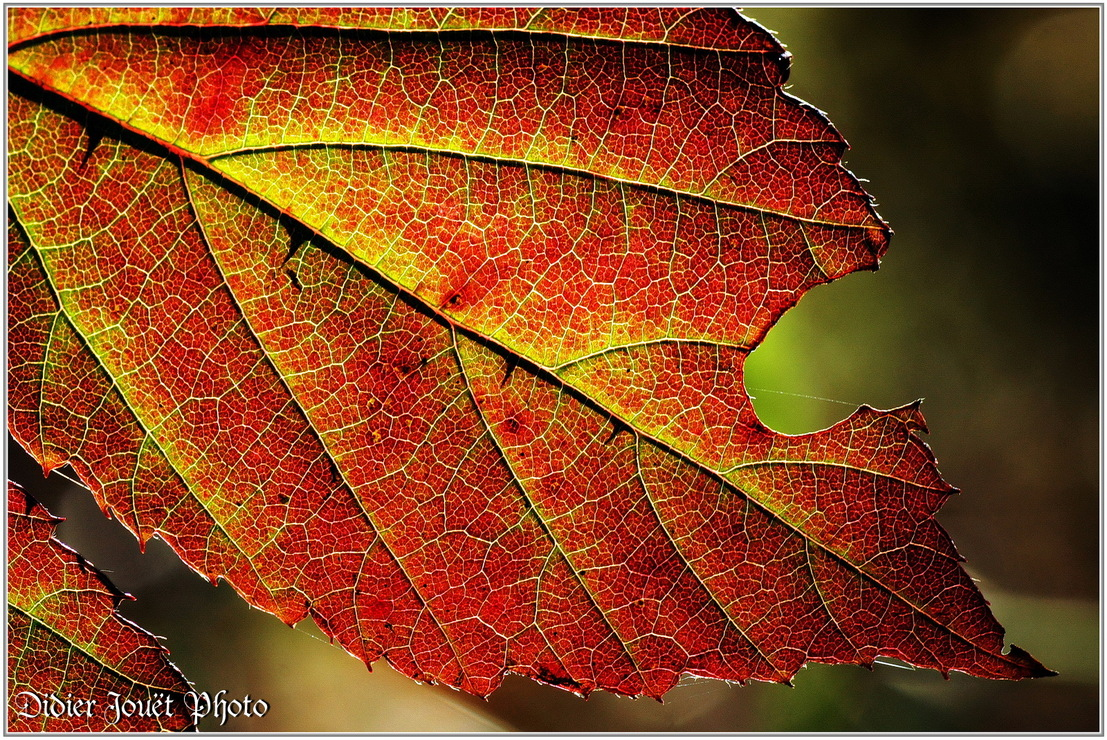 Ronce Commune / Rubus fruticosus