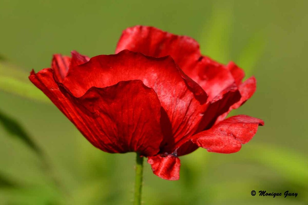 Rouge coquelicots