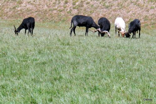 Les chèvres et le gazon