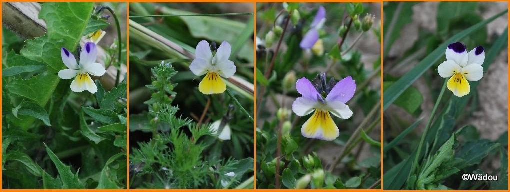 Pensee sauvage ou Pensee tricolore (Viola tricolor) Violaceae
