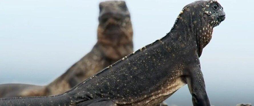 Un petit iguane qui échappe à des dizaines de serpents... le suspense de l'année