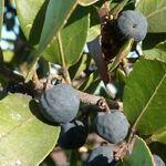 Rhamnus alaternus - Nerprun alaterne