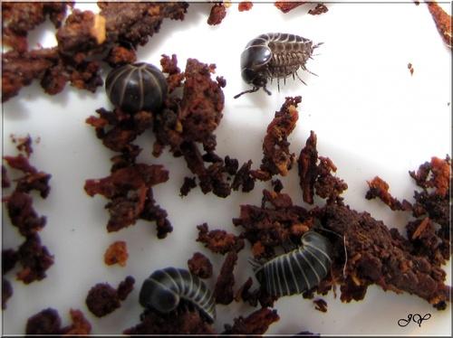 Myriapodes.
