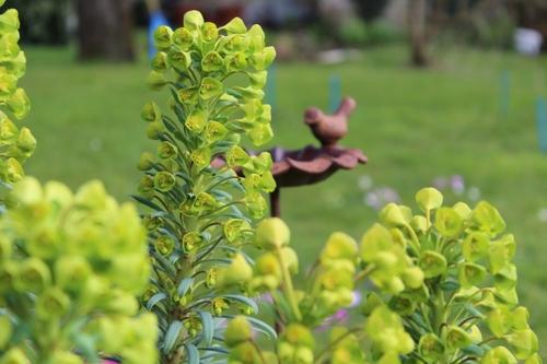 Pleine floraison pour l'euphorbe characias
