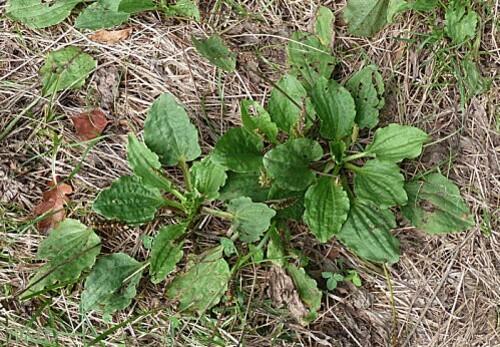 plantagomajor