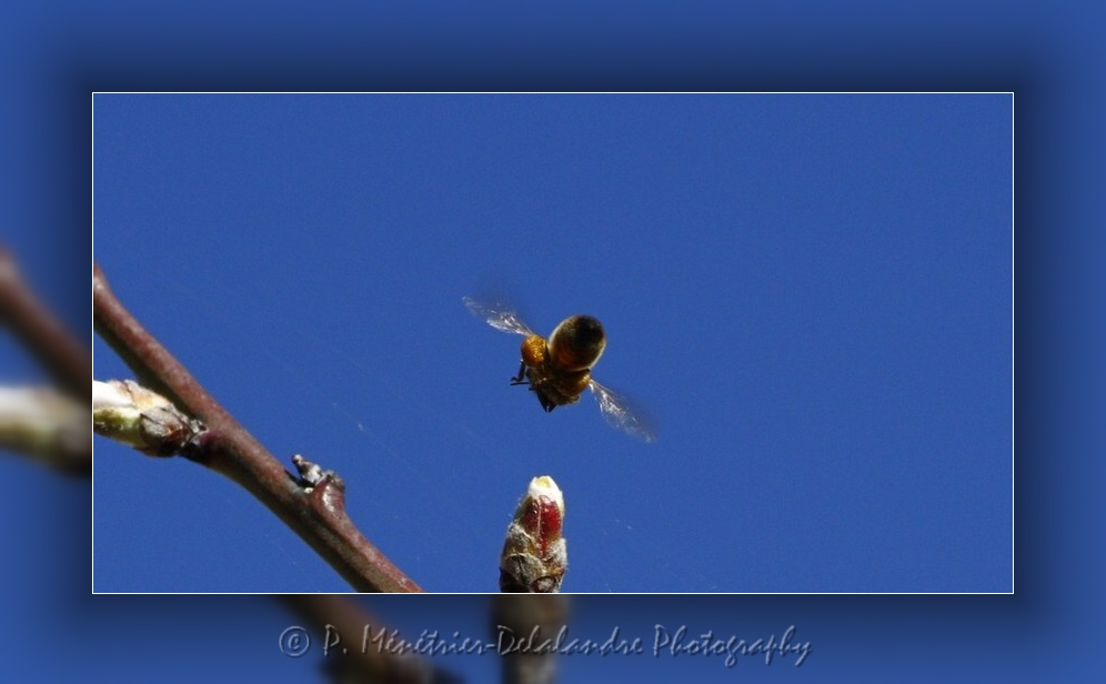 Tranche de vie d'une abeille gourmande...