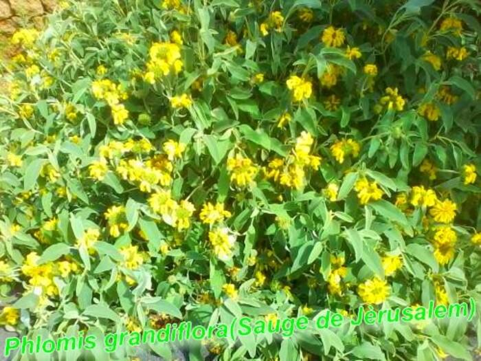 Phlomis grandiflora (Sauge de Jèrusalem)plante de sècheresse)