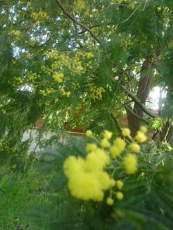 mimosa décembre